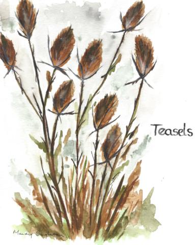 Teasels